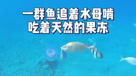 一群鱼啃着水母,吃着海里的天然果冻!