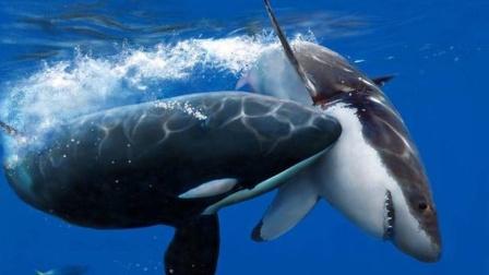 人类不想介入的海王争霸,高度社会化的虎鲸,智商吊打大白鲨!