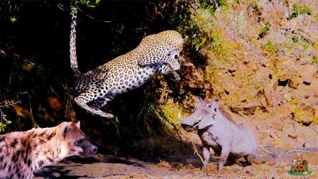 豹子捕食疣猪,不料鬣狗闻声赶来,下一秒疣猪的举动让两者一懵!