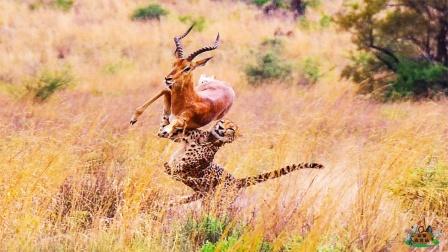 """豹子偷袭羚羊,不料羚羊使出""""空中飞羚"""",结果却被豹子一招破解"""