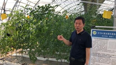 乡村振兴之杨陵区西红柿大棚种植藤肥循环利用
