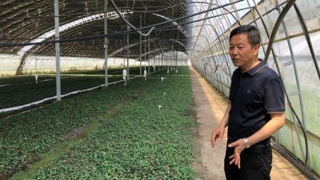 乡村振兴之中草药黄金种植带动村集体经济增收