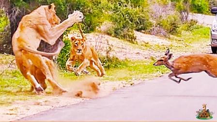 天降美食!在路边散步的狮群,偶遇自投罗网的羚羊,不吃都不行!