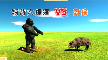 1只银背大猩猩和1头野猪展开了殊死一战,最终谁能获胜?