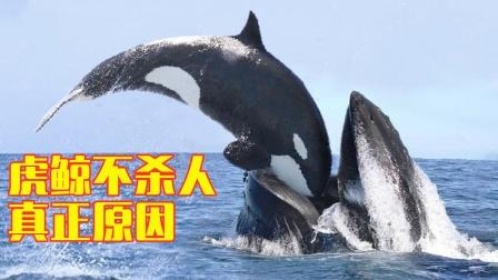 这就是虎鲸不攻击人类的真正原因?