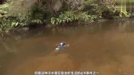 水下发现世界(最大的小龙虾), 巨大的钳子可以夹断人类的手指。