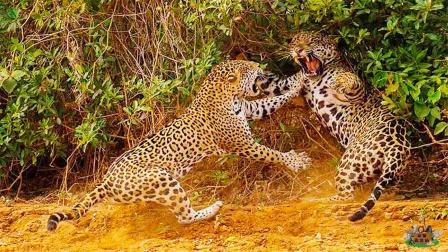 两只豹子在路边玩耍,不料一言不合就开打,下一秒小豹子悲剧了!