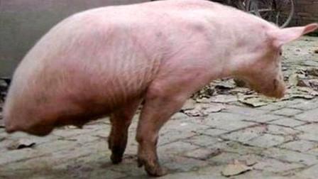 老头养的这头猪一夜爆红,出50万都不卖,看完你就明白了!