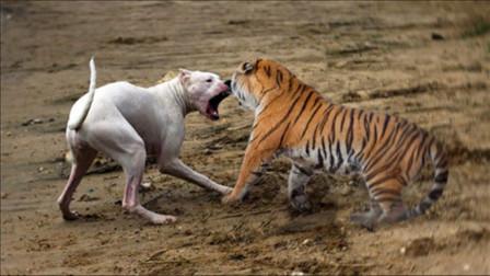 狗子挑衅老虎,下一秒直接结束狗生