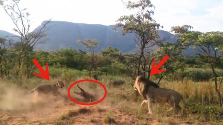 狮子马路上偶遇鳄鱼,大战一触即发,到底谁更胜一筹呢?