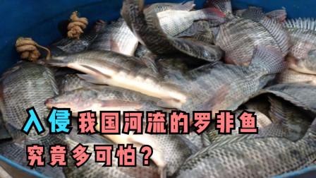 入侵我国河流的罗非鱼,究竟多可怕?为什么吃货都无能为力?
