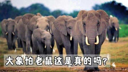 都说大象怕老鼠,这是真的吗?