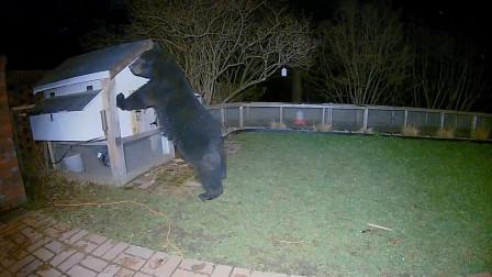 黑熊跑来鸡舍偷鸡,主人发现后样子太怂了