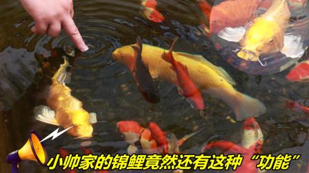 小帅救治好锦鲤之后,锦鲤有了灵性,但是小池塘的外来物种让小帅很着急