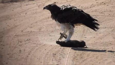 老鹰捕食小野猪,不料用力过猛爪子卡住