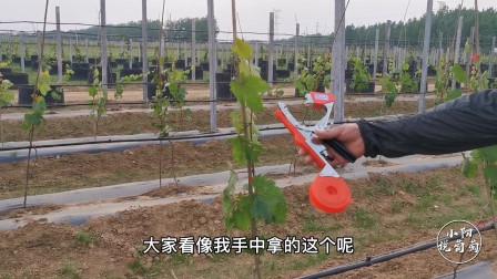 葡萄长到一定的高度,如何进行合理绑蔓?小阳实地演示操作