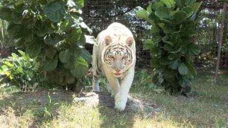 白虎已经发怒,目露凶光,游客却还在淡定观看!