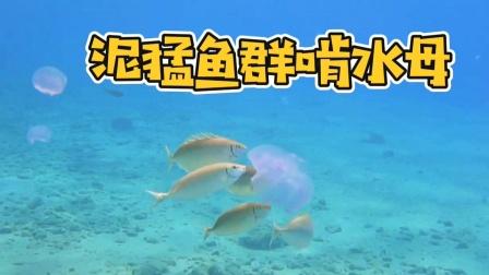 泥猛鱼为什么毒?看看它吃什么