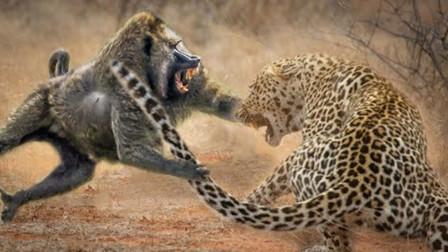 凶猛狒狒赶走花豹,却意外拯救了2条生命!