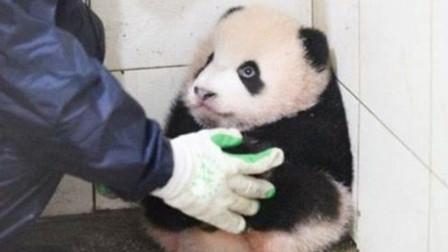 熊猫宝宝蹲墙角生闷气,奶爸上前安慰反被打
