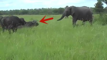 大象趁着水牛不注意,上前踢了一脚,下一秒忍住别笑