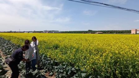 锦州一小镇大片油菜花令人陶醉 摄影人热心指导游人拍唯美纪念照