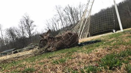 小鹿误闯足球场,结果被网子牢牢缠住,最后男子的举动太暖心!