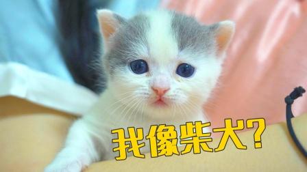 小奶猫因为长得像狗,被老公取名叫柴犬,气死我了!