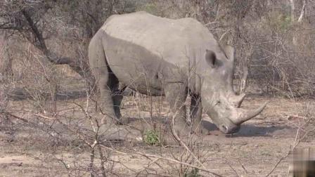 作为2021年这个牛年最需要保护了的动物,犀牛已经极其濒危,如果不加以保护,后果不堪设想