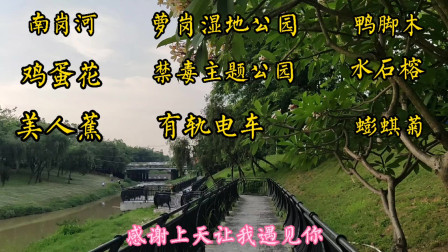 广州南岗河萝岗湿地公园,看黄埔有轨电车学禁毒知识,美人蕉水鬼蕉蟛蜞菊等鲜花盛开