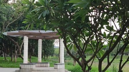 广州萝岗湿地公园,欣赏黄埔文教园区中国象形文字卷,洋蒲桃等绿树成荫