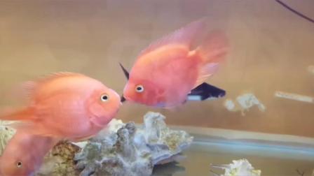三条鹦鹉鱼的珊瑚海爱情