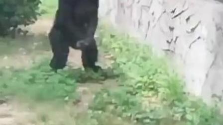 超级搞笑的大猩猩
