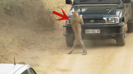 花豹猛扑汽车,司机吓得猛踩油门,下一秒更刺激的事情发生了!