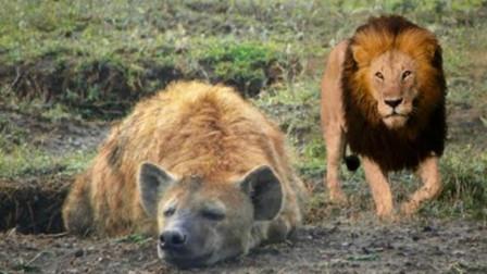 鬣狗正在睡觉,却没发觉狮子已走到身后,雄狮:这就怪不得我啦!
