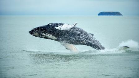 男子被座头鲸吞入口中 又奇迹般被吐出