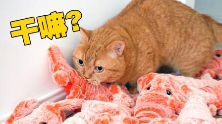 给猫准备了100只大龙虾,现场过于兴奋,不可描述