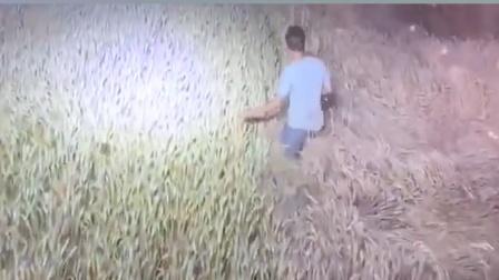 夜间收麦小伙在前面领路,避免误收了隔壁家的麦子