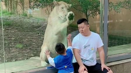话痨萌娃以为爸爸会被吃掉不停求情 狮子反应笑翻众人