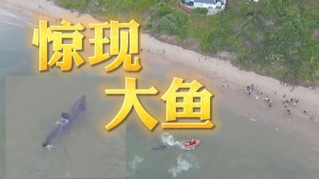 海边惊现大鱼,突然就慌了