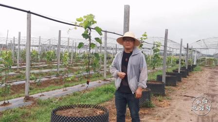 棚架葡萄的多种上架方式,采取哪种都合理,但关键点要把握住!