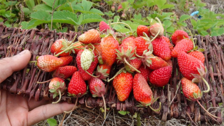 菜园的六月:自己种的草莓,厉害吧?自然生长的第三年,终于大丰收啦!