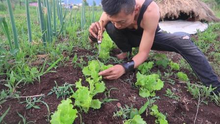 菜园的六月:自己播种的生菜,绿色蔬菜自给自足!