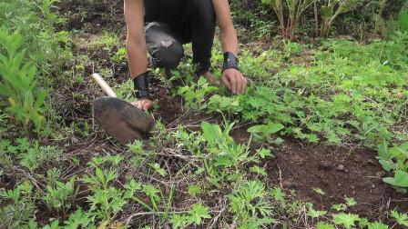 菜园的六月:雨后的植物生长情况(菊花、玉米、黄豆、西瓜苗)