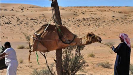 几名男子将骆驼五花大绑,悬吊半空,这是要干什么?
