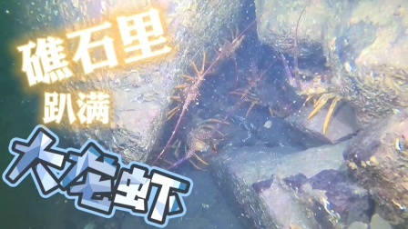 野生大龙虾,趴在礁石里一动不动