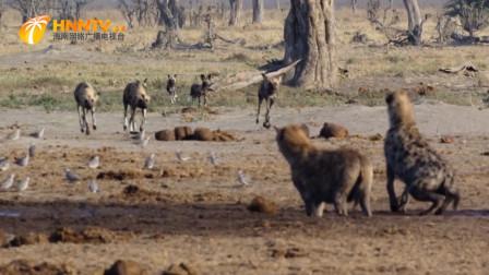 霸道母鬣狗强多食物,将进食中的猛禽全部暴揍一顿,镜头拍下过程