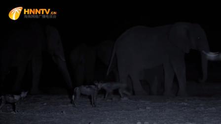 饥渴的野狗冒死挑衅大象,谁料接下来,大象的怒火难以平息
