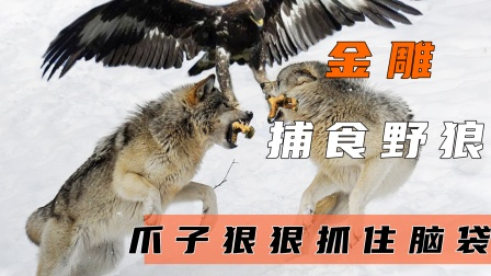金雕空袭灰狼,利爪狠狠攻击灰狼的头,攻击力太强了!