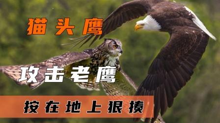 老鹰攻击猫头鹰,却反被猫头鹰按在雪地上暴揍,谁才是空中霸主?